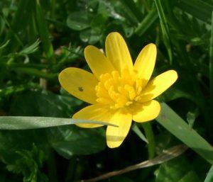 Les premières fleurs à sortir…